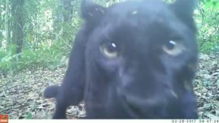 """เปิดคลิป """"เสือดำ"""" เล่นกล้อง ในเขตรักษาพันธุ์สัตว์ป่าอุ้มผาง จ.ตาก"""