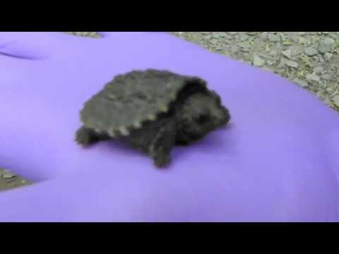Baby Snapping Turtle I Found With A Friend Hiking. Susquehanna State Park 6-2-13