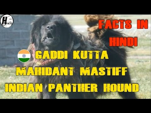 Gaddi Kutta Dog Facts | Hindi | INDIAN DOG BREEDS | HINGLISH FACTS