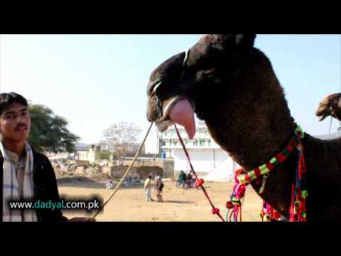 Dadyal Mandi: Animals of Dadyal, Video Made on Eid By M Yasin