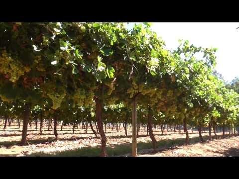 Table grape canopy management