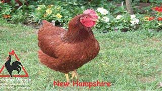 Criatório Viçosa - New Hampshire - ovos férteis, galados - Unidade - Compre 12 e leve 15