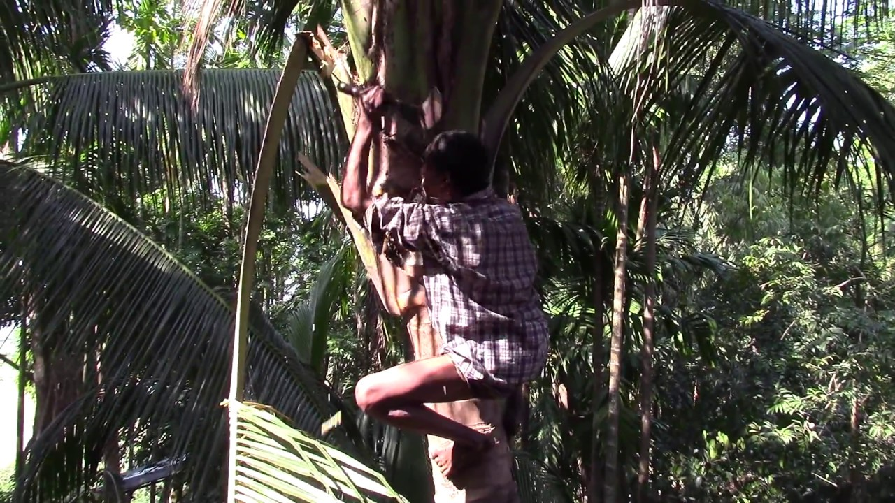 Cutting down Tree branches and Coconuts in Bangladesh ...