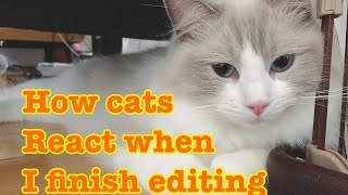 My cats disturbs me when working...【Ragdoll cats】【adorable cute animals】