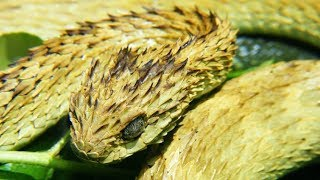 Striking Facts About Viper Snakes