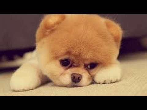 cute chow chow puffy lion dog