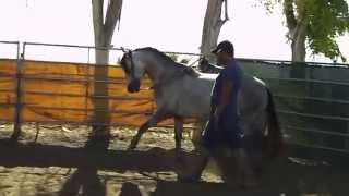 3 year old analusian stallion 6k 661 333 4441 661 401 3529