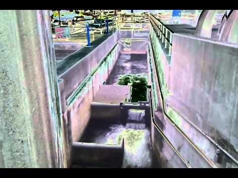 Fish ladder at ballard locks in seattle youtube for Ballard locks fish ladder