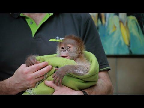 Berliner Affenbaby Rieke wird im Zoo gefüttert