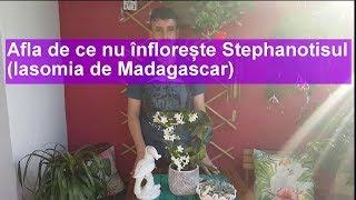 Afla de ce nu infloreste Stephanotisul (Iasomia de Madagascar)
