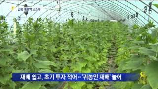 [안동MBC뉴스]'안동 애호박' 출하..귀농인도 한몫