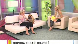 Порода собак: шарпей