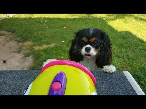 Cavalier King Charles Spaniels Having Fun With Bubbles!
