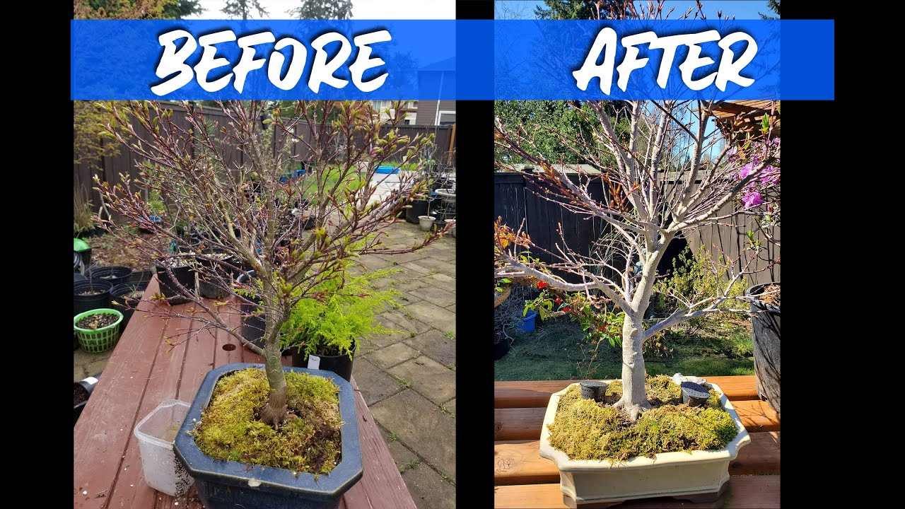 How To Bleach Your Japanese Maple Bonsai Youtube