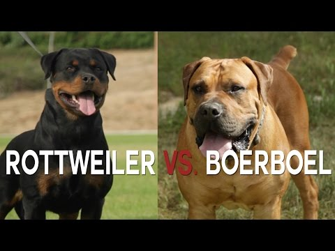 ROTTWIELER VS BOERBOEL - A BATTLE OF BIG DOGS