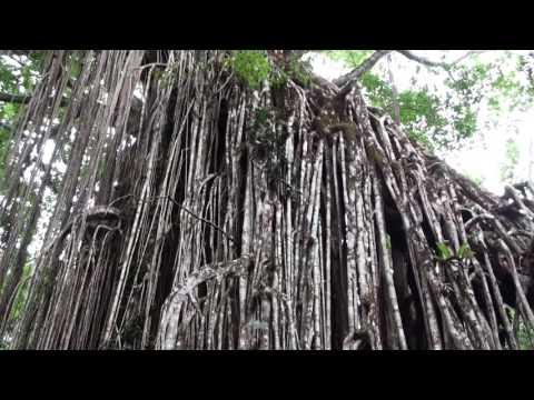 Curtain Fig Tree near Yungaburra in Queensland Australia
