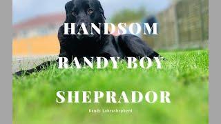 German Shepherd And Labrador Mix