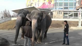 Выгул слонов в Кемерове