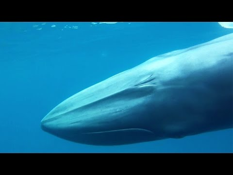 Balaenoptera omurai - Omura's whale