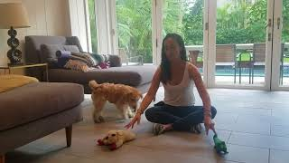 Teach your dog their toys by name, Lakeland Terrier