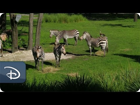 Best Views From Walt Disney World Resorts | Disney's Animal Kingdom Lodge