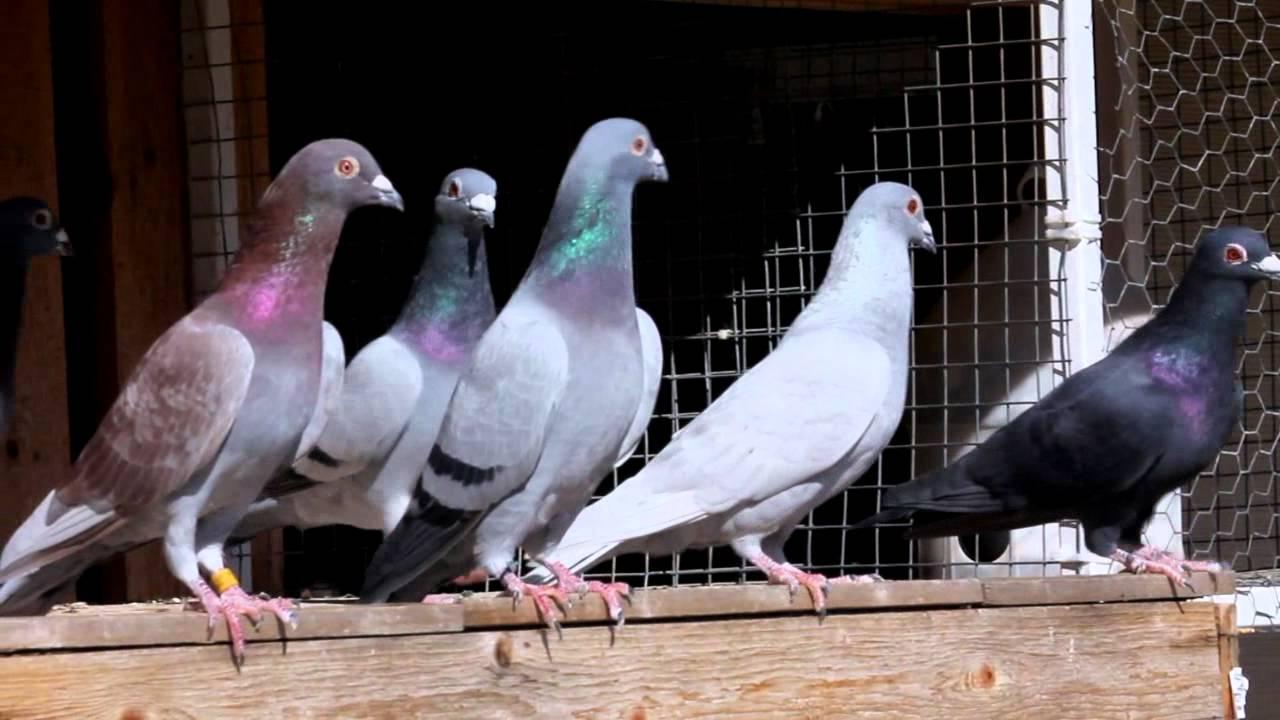 racing pigeons exercising my racing pigeon youtube