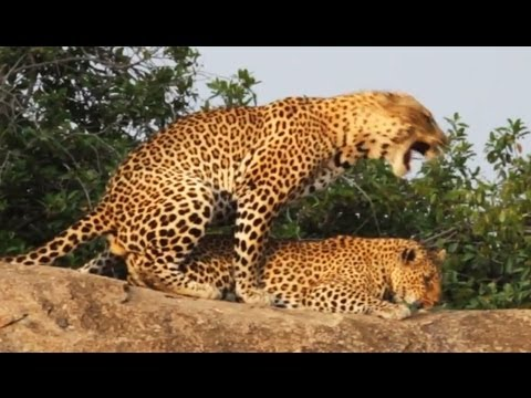 Leopards Mating - Latest Wildlife Sightings