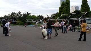 千葉東ショードッグクラブ展 ベストインショージャッジ・トン・スー・リ...