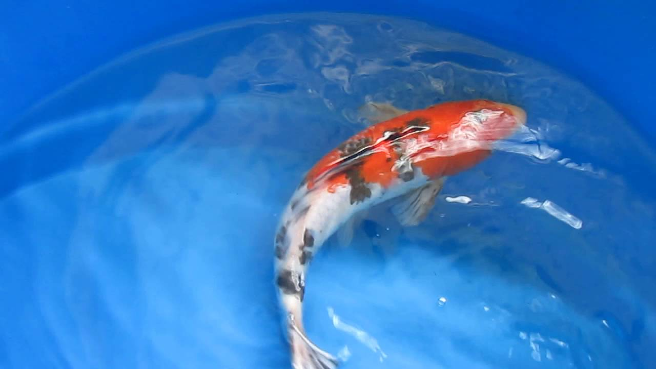 Japanese Imported Live Koi Fish For Sale!