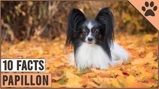 Papillon Dog Breed  Top 10 Facts | Dog World