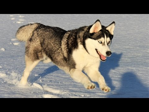 Cute Siberian Husky Self Entertaining in the Snow