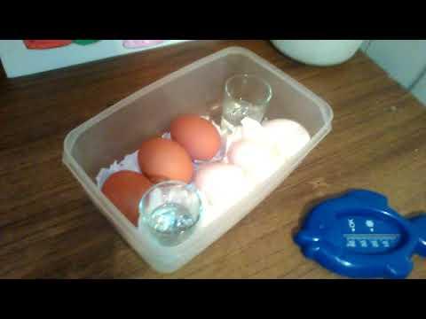 Как вывести цыплят в домашних условиях