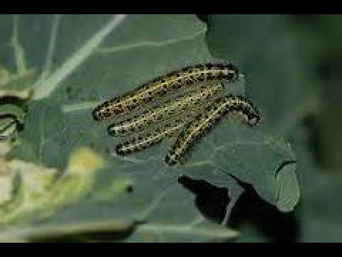 lagartas acabando com a  couve