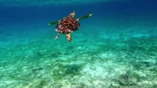 波照間島の北浜(ニシハマビーチ)には、ウミガメが住み着いています。201...