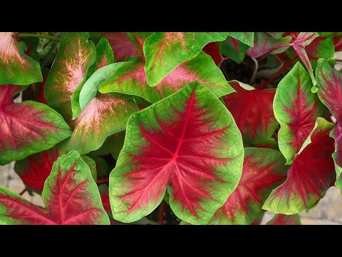 how to grow bulbs of caladium elephant ear plant youtube. Black Bedroom Furniture Sets. Home Design Ideas