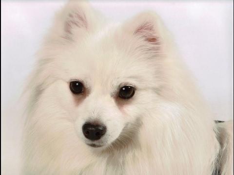 American Eskimo Dog History, Personality, Health, Care