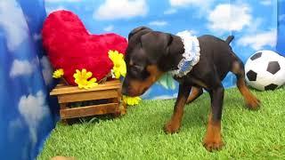 ペットショップ 犬の家 尼崎店 「78288:ミニチュア・ピンシャー」