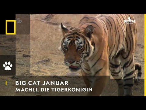 Machli – Die Tigerkönigin | BIG CAT JANUAR | NAT GEO WILD
