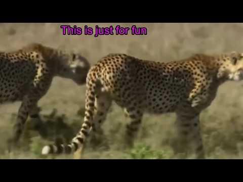 Funny Video On Tiger Hunting Deer