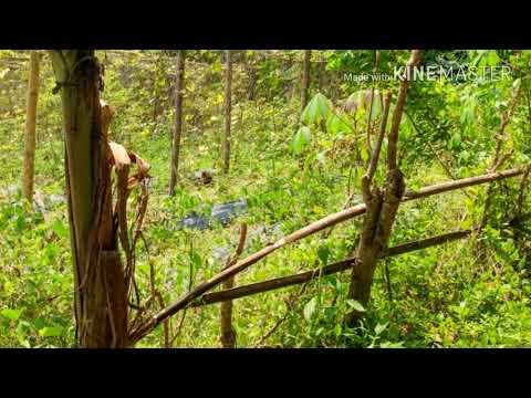 Suara Ayam (Pemikat berburu garangan) Mp3