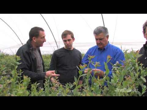 FreshDirect Cream-of-the-Crop- The perfect Blueberries