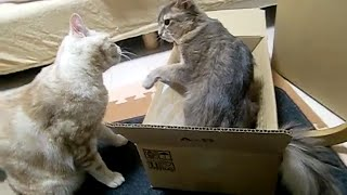 猫の喧嘩、最後はアメショー姉さんのガン飛ばしで終了Cat quarrel 箱の...
