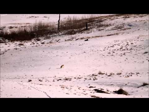 Wolves and Red Fox in Yellowstone National Park