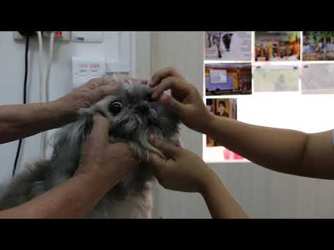 A 7-year-old Shih Tzu has infected right ear