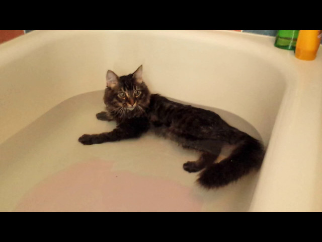 Maine Coon Kitten Lying in the Water