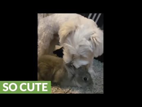 Maltese instantly falls in love with bunny rabbit