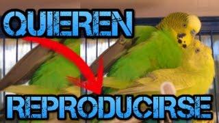 Como saber si un periquito quiere reproducirse-Rincon animal