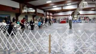 Summit Dalmatians, Ava, Dalmatian Club Of America's 2011 Reserve Winners Bitch