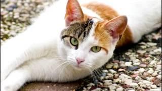 Порода кошек. Эгейская кошка.Очень редкая порода кошек выведенная в Греции.