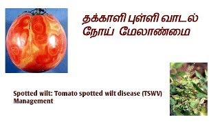 Spotted wilt: Tomato spotted wilt disease (TSWV) தக்காளி புள்ளி வாடல் நோய்